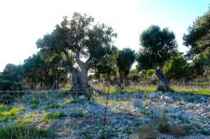 Olivenbäume auf Lun